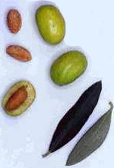 Variété olive aglandau