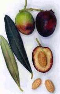 Variété olive bouteillan