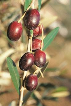 Variété olive cailletier