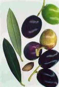Variété olive cayanne