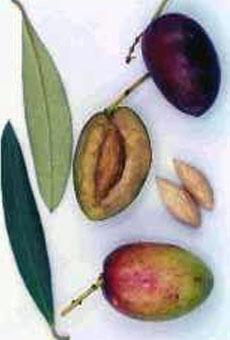 Variété olive picholine