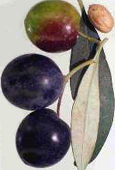 Variété olive tanche